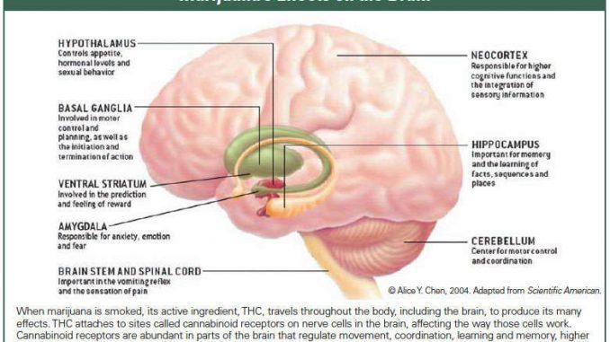 אזורים במוח שעליהם הTHC פועל